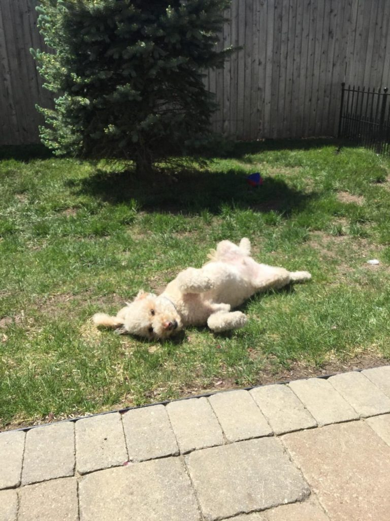 Leo the dog sprawls out on the grass, so happy to have his own backyard and be able to walk in west hartford, ct Photo credit: howard elson